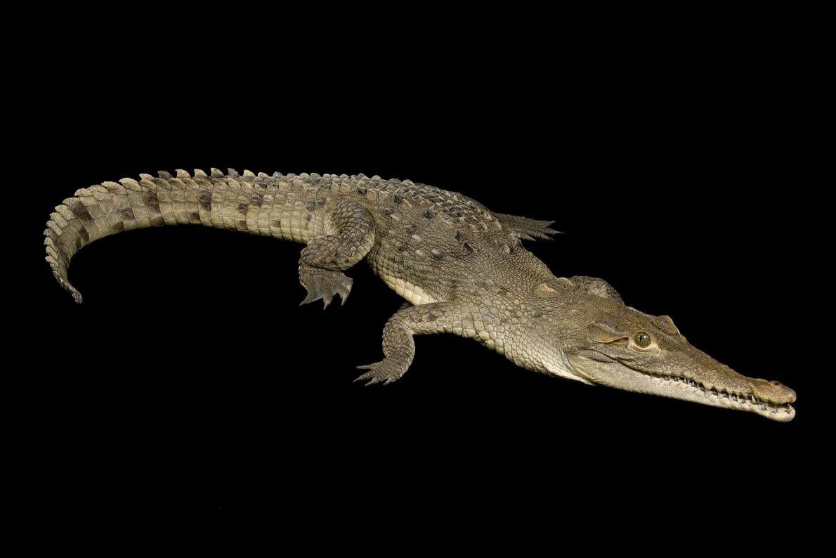 Crocodilo americano (Crocodilus acutus)