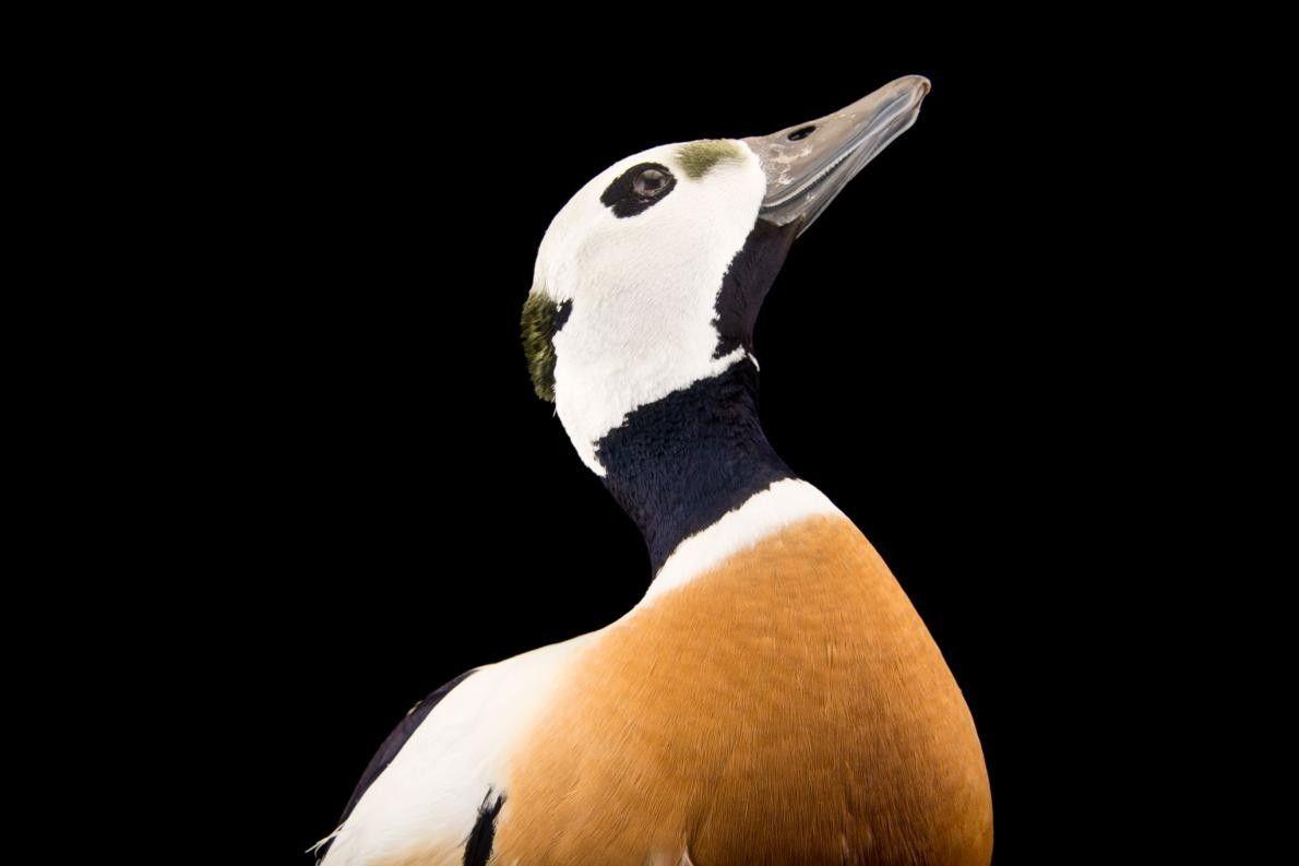 Um macho Eider-de-steller (Polysticta stelleri) vulnerável e ameaçado a nível federal no Alaska SeaLife Center.