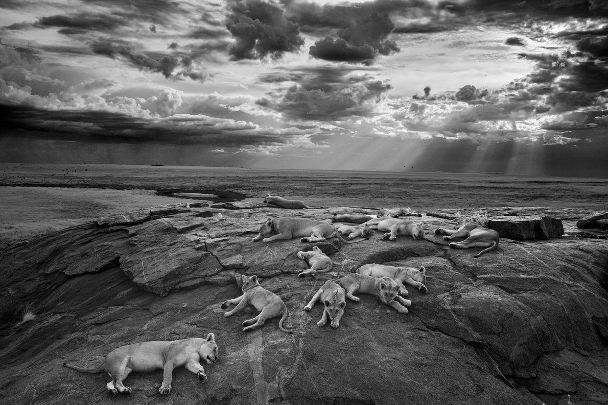 """As leoas e crias do grupo Vumbi descansam num """"kopje"""", um afloramento rochoso, perto da sua ..."""