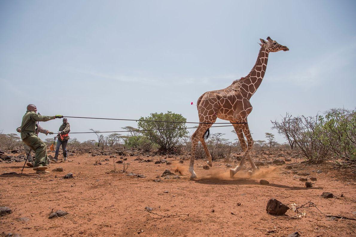 Imobilização de uma girafa.
