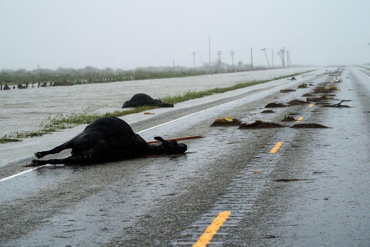 Vacas mortas na sequência do furacão Harvey