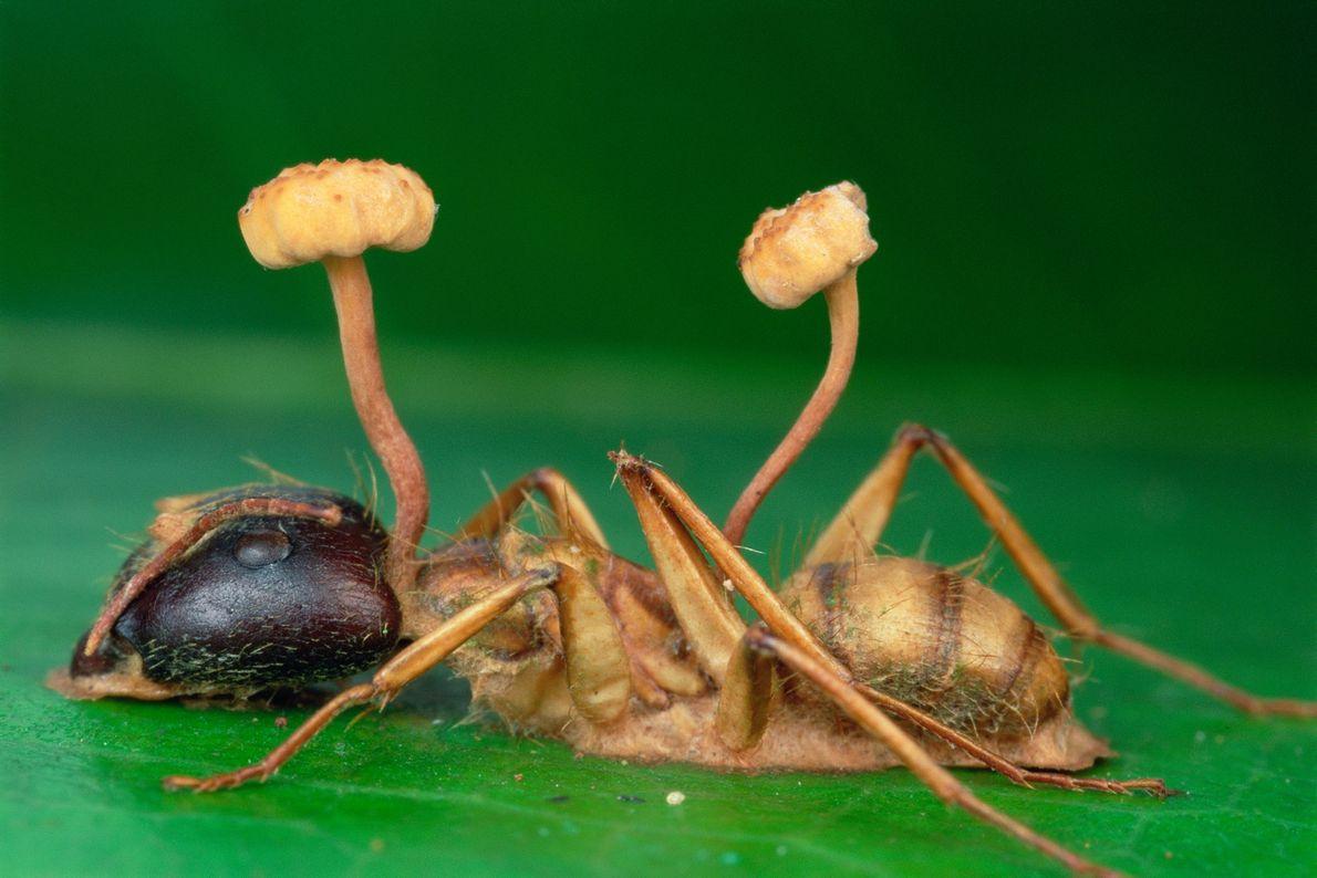 """O fungo cordyceps, por vezes chamado de """"fungo zombie"""", não tem dificuldades em sobreviver na selva. ..."""