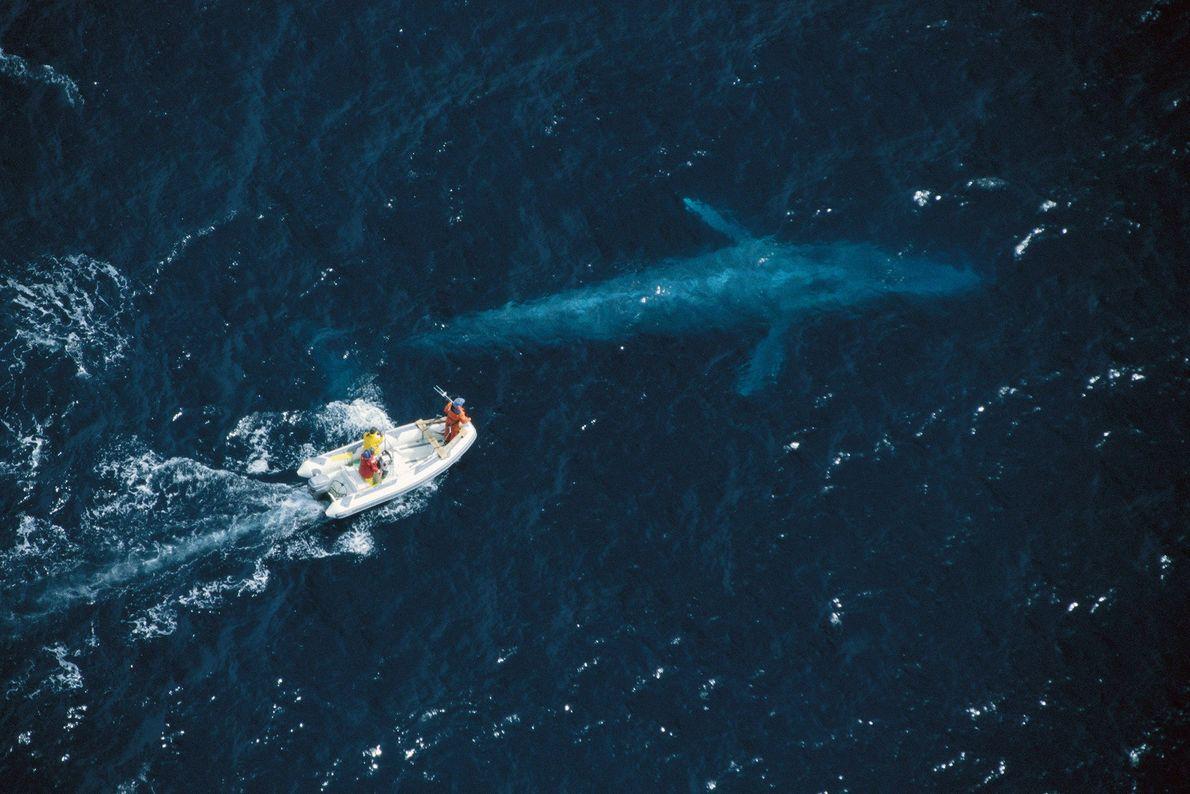Investigadores tentam colocar identificadores de rastreio por satélite em baleias-azuis na costa da Califórnia. As baleias-azuis, ...