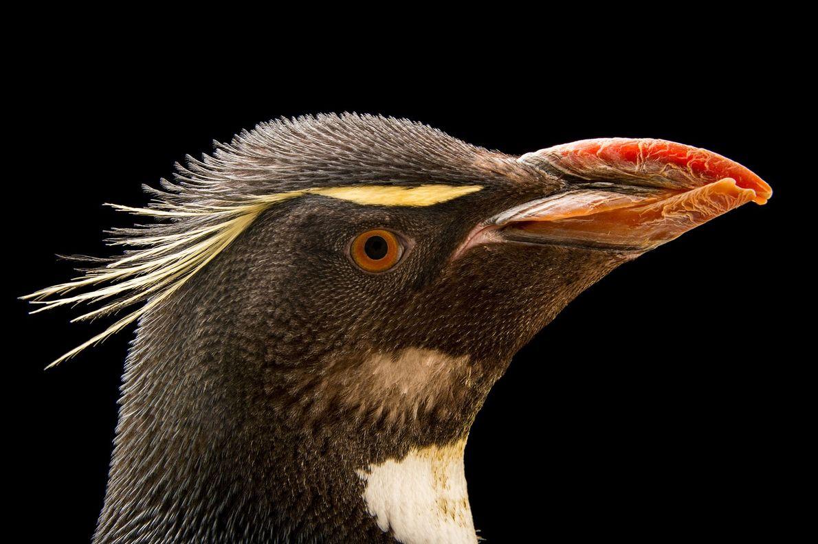 Pinguim-de-penacho-amarelo