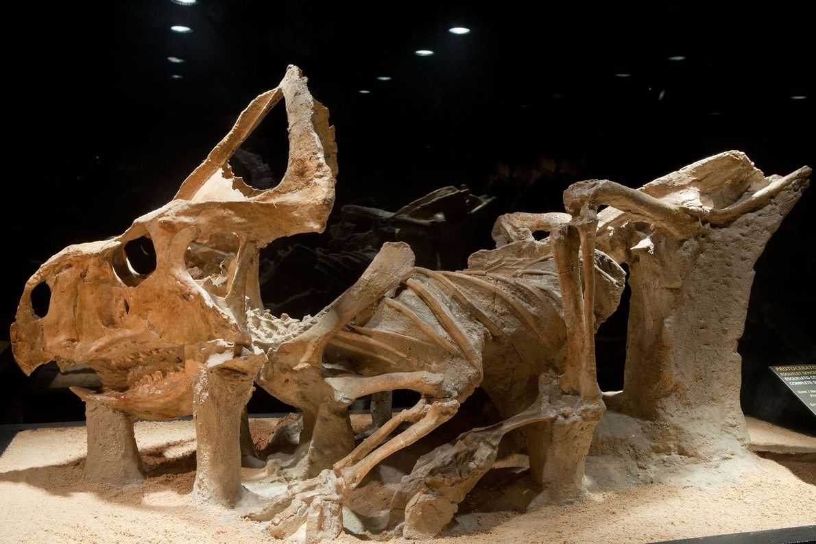 Protoceratops andrewsi, um dos primeiros parentes do dinossauro com chifres Triceratops