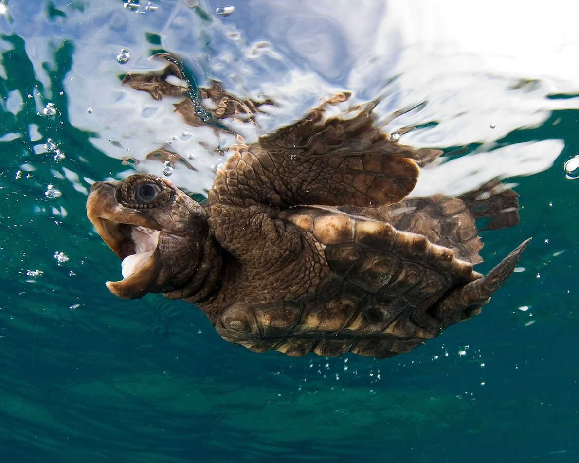 Uma pequena tartaruga-comum.
