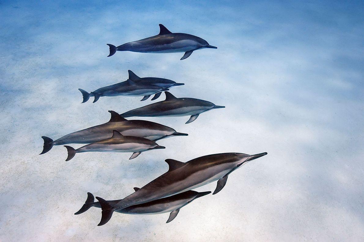 Os golfinhos-rotadores ao largo do Havai desenvolvem laços sociais fortes.