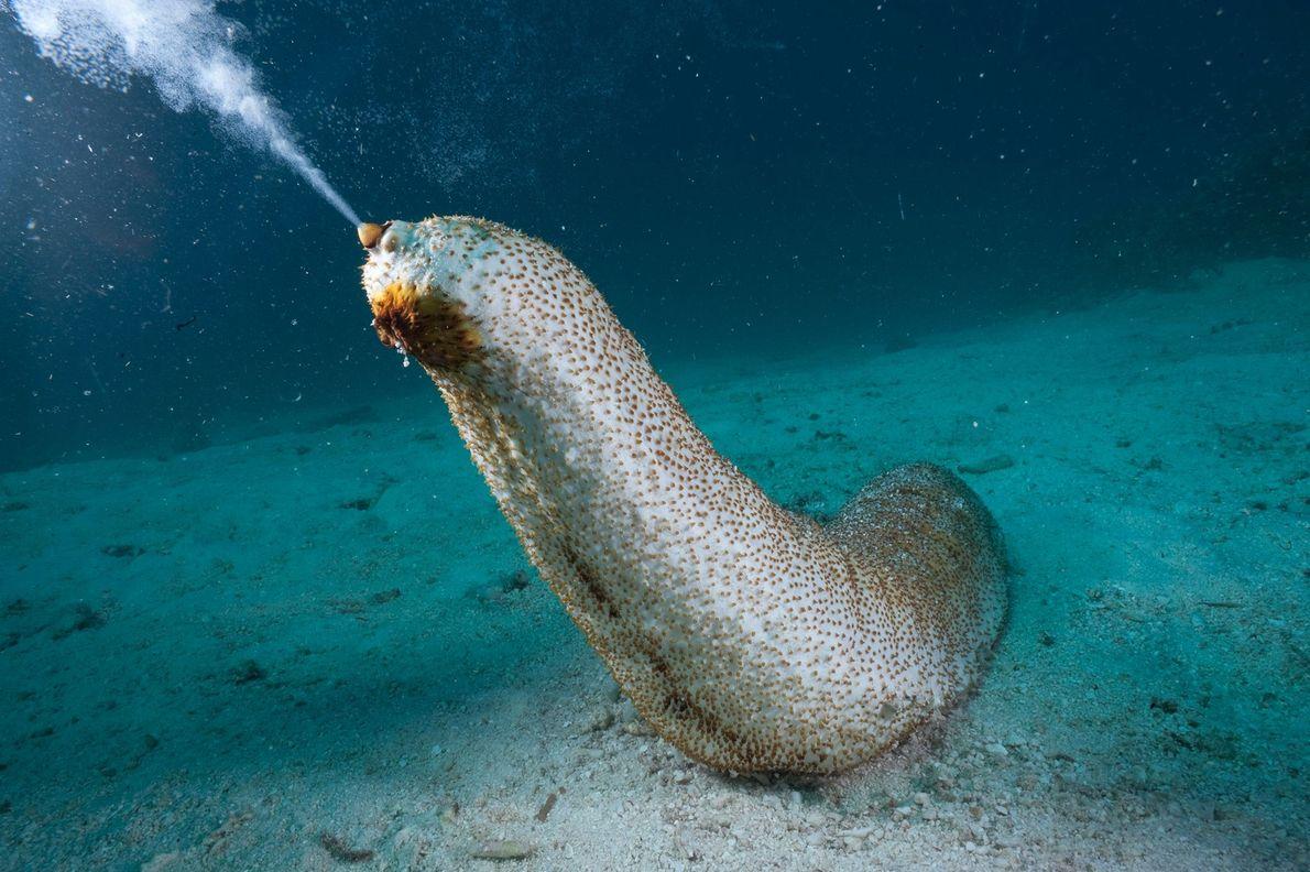 Um pepino-do-mar.