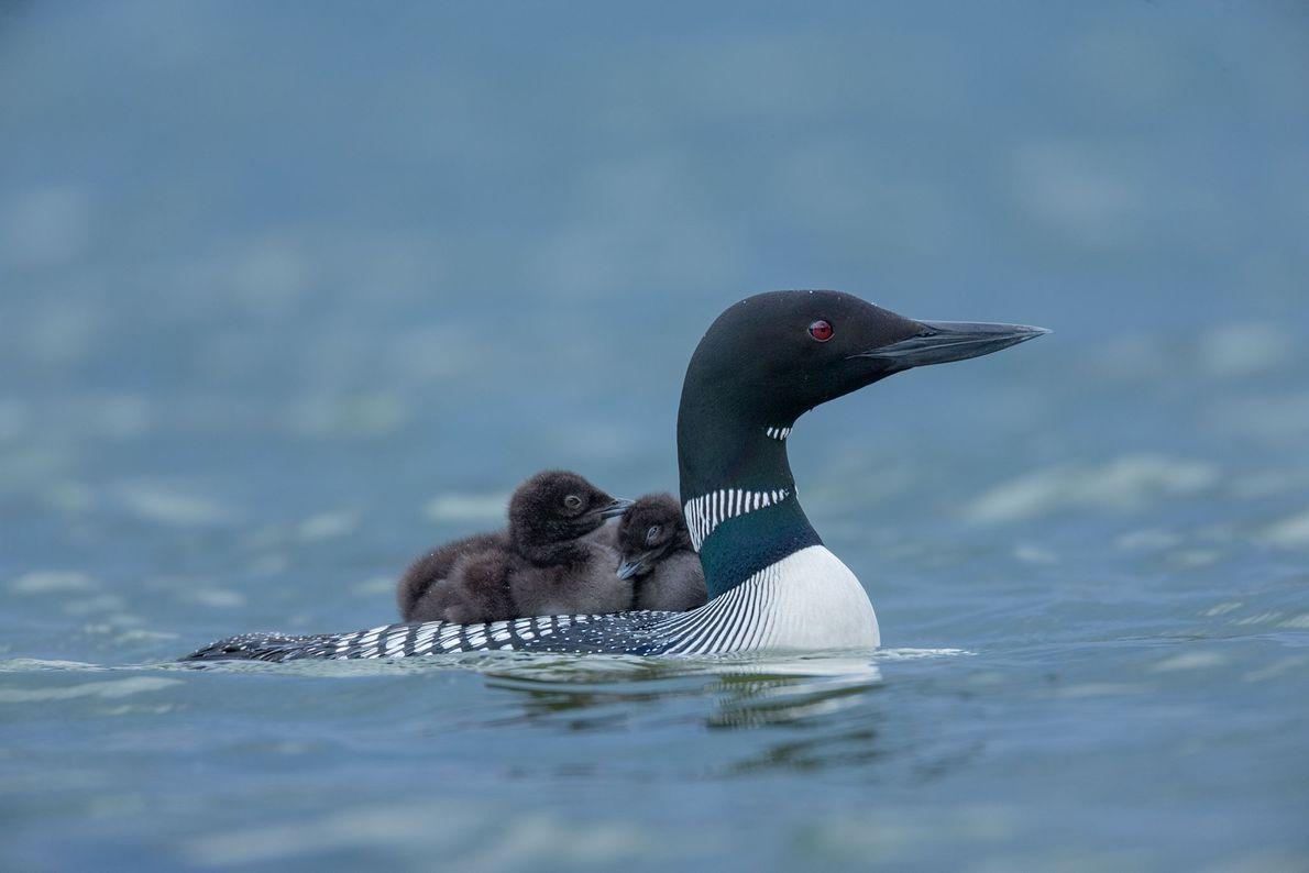 Crias de mobelha-grande descansam às costas da mãe