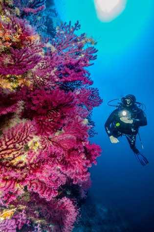 Um mergulhador passa por uma parede subaquática de corais coloridos ao largo da costa de Alonissos, ...