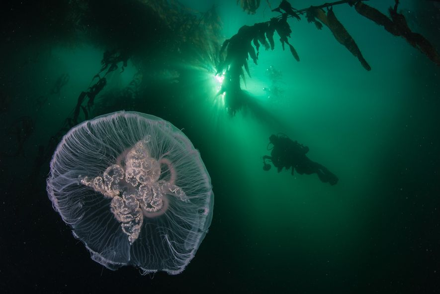 Uma medusa-da-lua nada através de algas gigantes perto de Cabo Horn. As florestas de algas dos ...