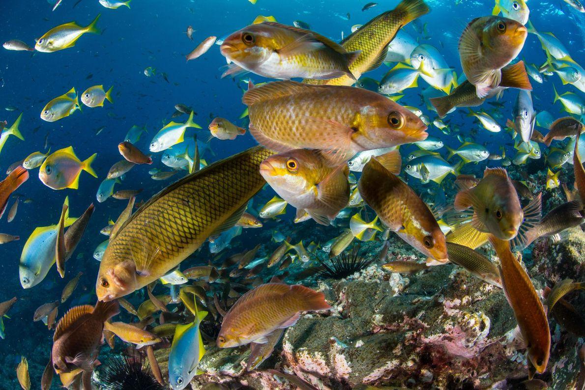 Biodiversidade nas ilhas de Juan Fernández e Desventuradas no Chile