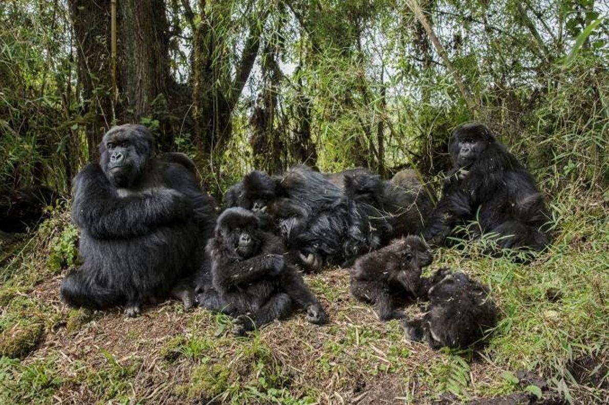 Um grupo de gorilas de montanha.