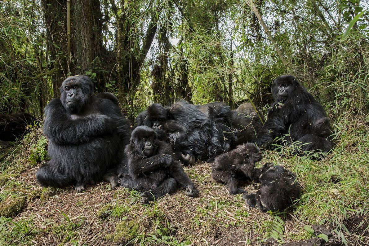 Gorilas-da-montanha, Monte Karisimbi, no Ruanda.