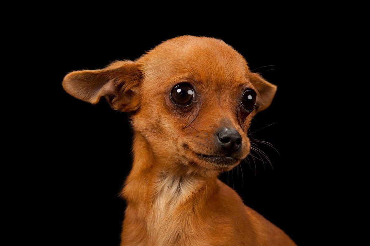 Um chihuahua com três meses.