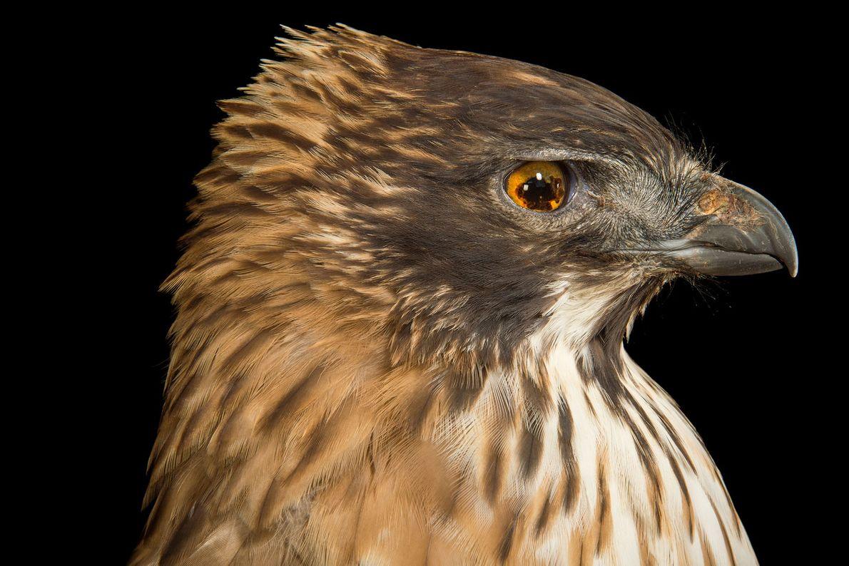 Espécies de águias - Uma águia das montanhas japonesas