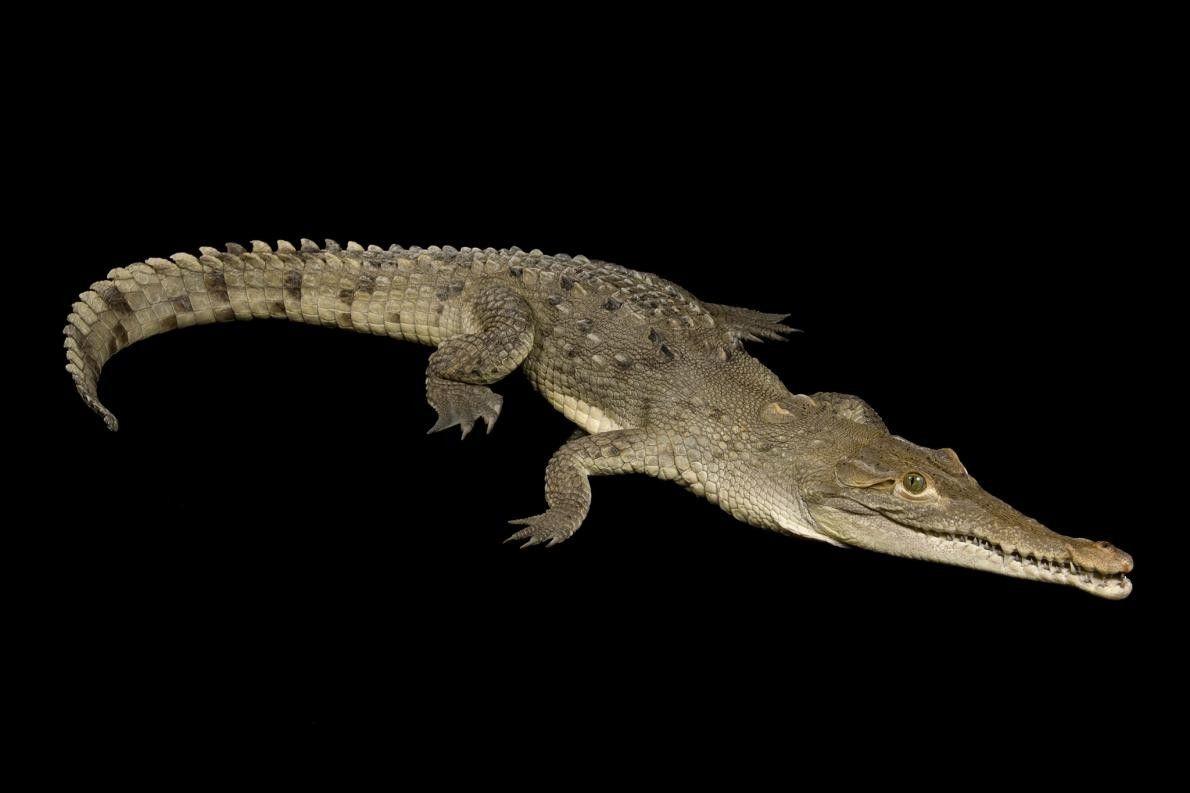 Um crocodilo americano (Crocodilus acutus) no Jardim Zoológico de Omaha.