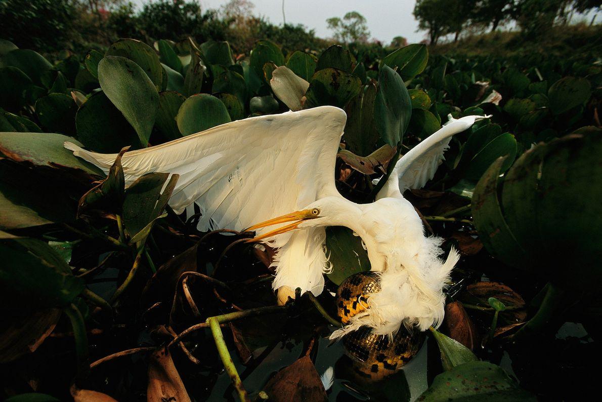 Uma anaconda amarela enrola-se numa garça-branca. Embora a garça-branca já tenha sido caçada pelas suas penas, ...