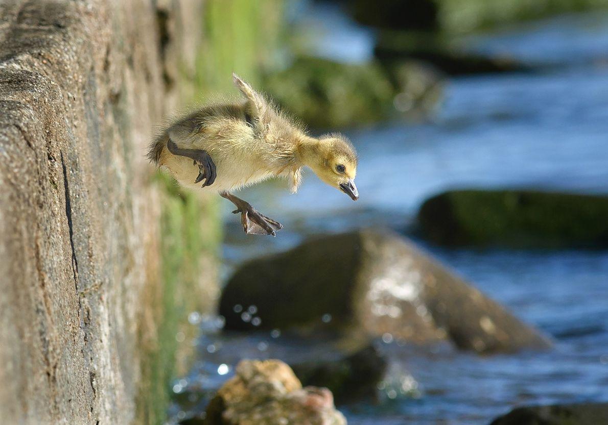 pequeno ganso salta para o rio Hudson