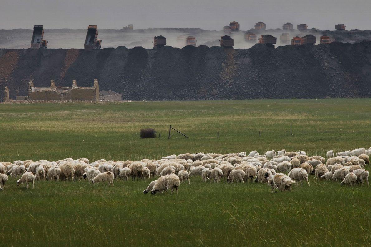 Ovelhas pastam em frente à faixa da mina de Shenhua que transporta pedras e areia para ...