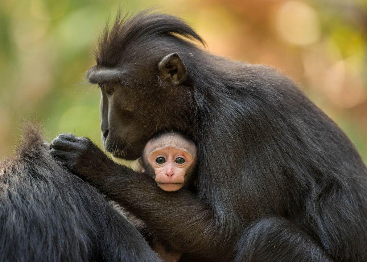 Macaco-negro-de-crista com a sua cria