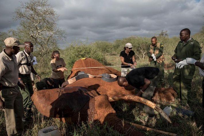 A equipa prepara-se para colocar colares num elefante da savana com 25 anos, no Parque Nacional ...