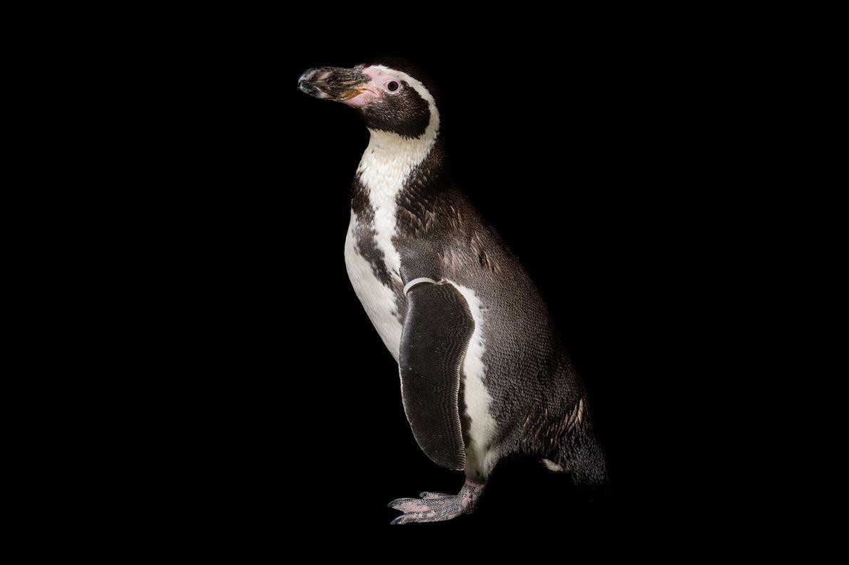 Pinguim-de-humboldt