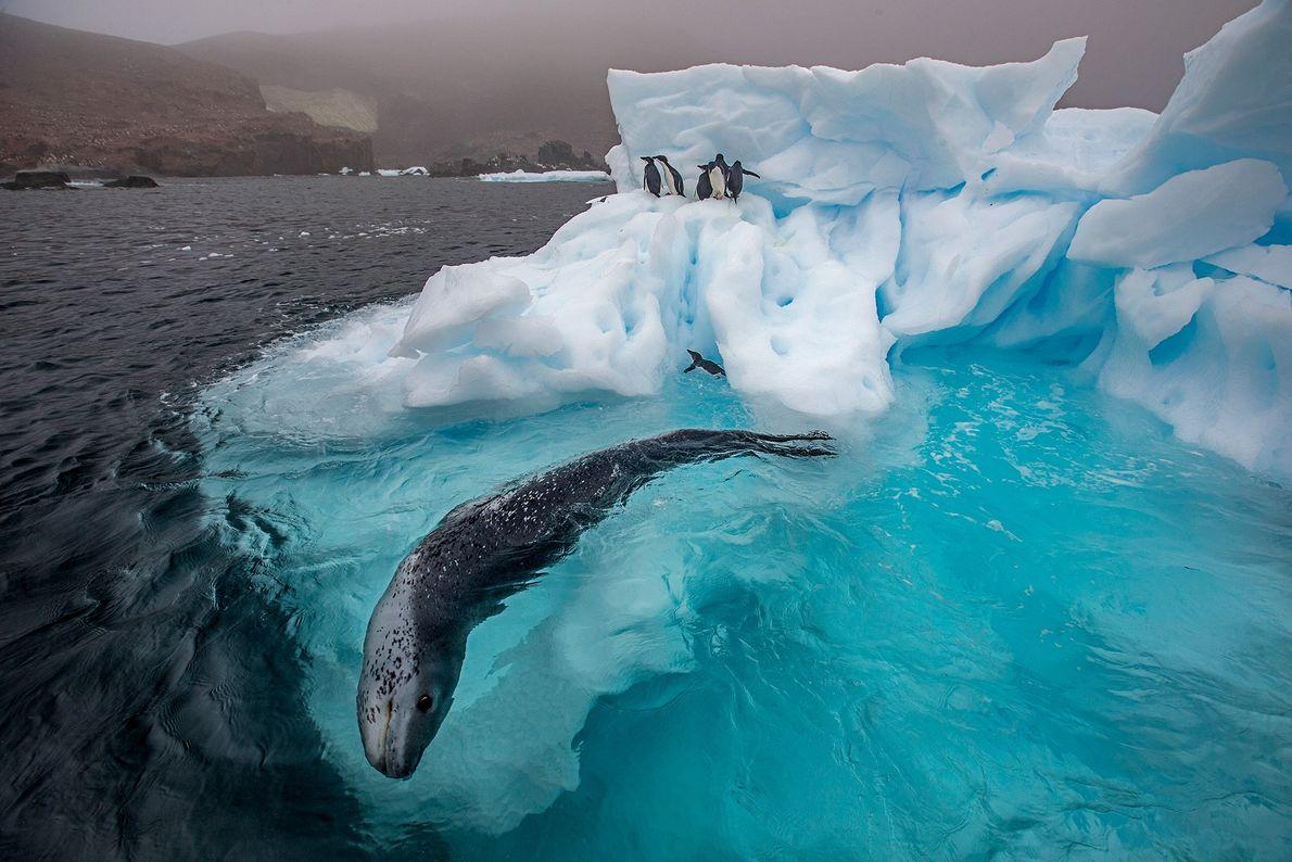 Ao largo da península antártica, uma foca-leopardo está a caçar. A foca nada em círculos, por ...