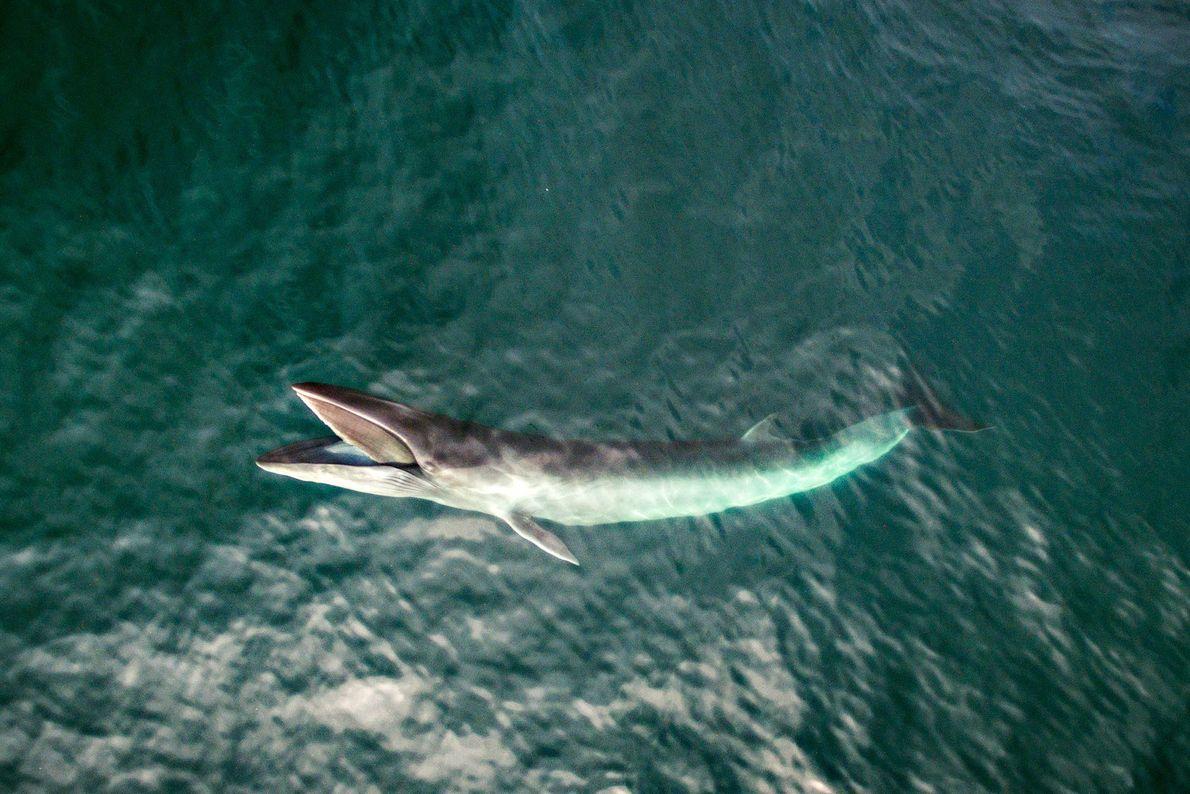 Uma baleia-de-Minke, ou baleia-anã.