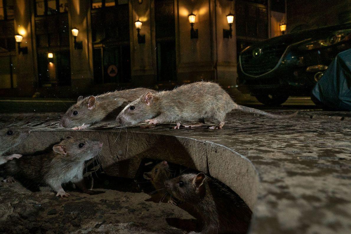 Charlie Hamilton James venceu a categoria Vida Selvagem Urbana com o seu retrato íntimo de ratos ...