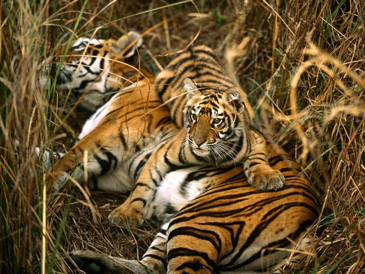Um tigre-de-bengala fêmea e a sua cria repousam na erva alta de um prado. As crias ...