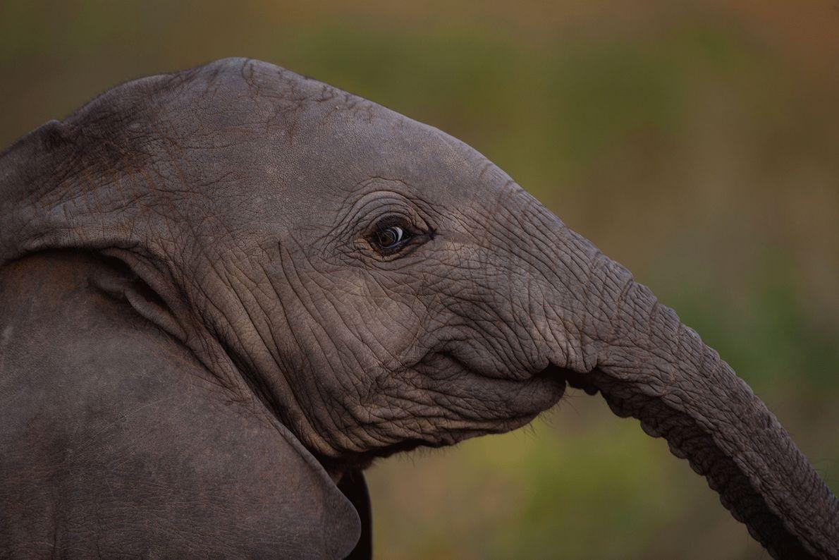 Os elefantes mais jovens têm o hábito de brincar até caírem para o lado de tão ...