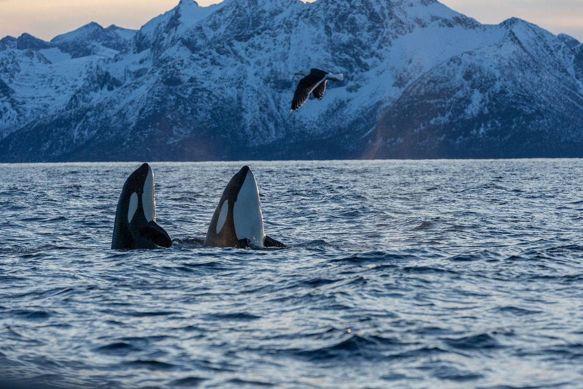 Duas orcas nas águas de Andfjorden, na Noruega.