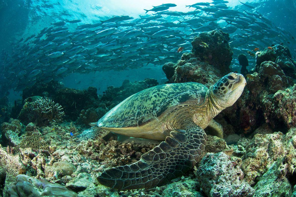 Tartarugas-verdes na Malásia.