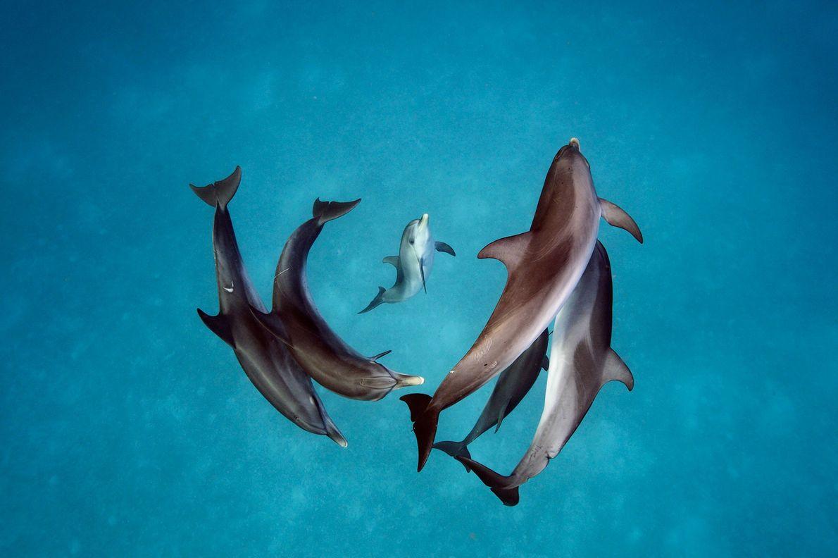 Os golfinhos-pintados-do-Atlântico, Stenella frontalis, que habitam as zonas em torno das Bahamas.