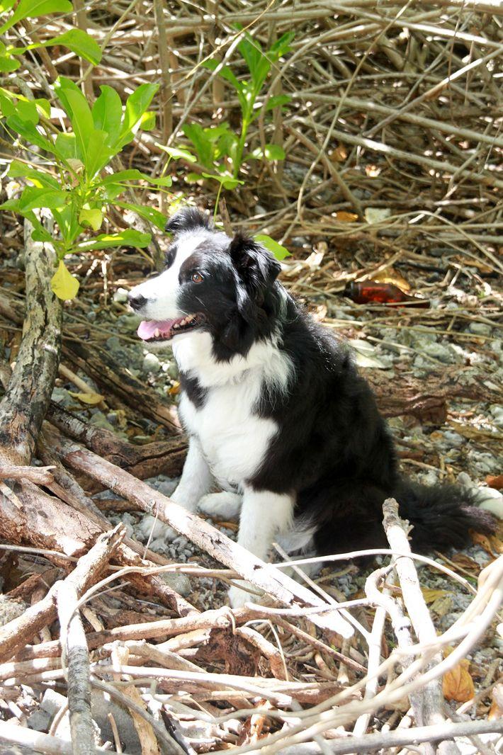 Os cães-pisteiros na procura por Amelia Earhart