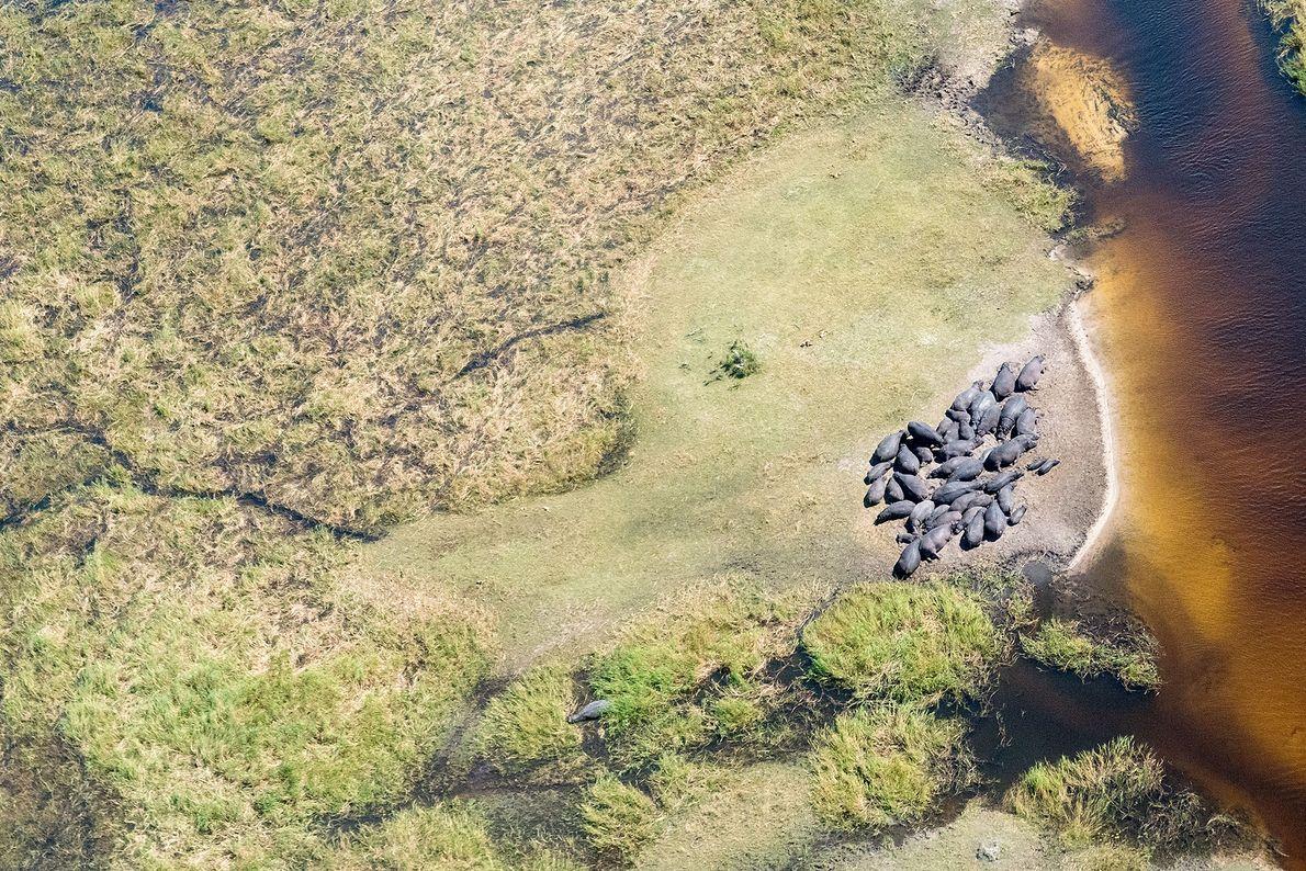 Hipopótamos-comuns. Moremi, Central, Botsuana