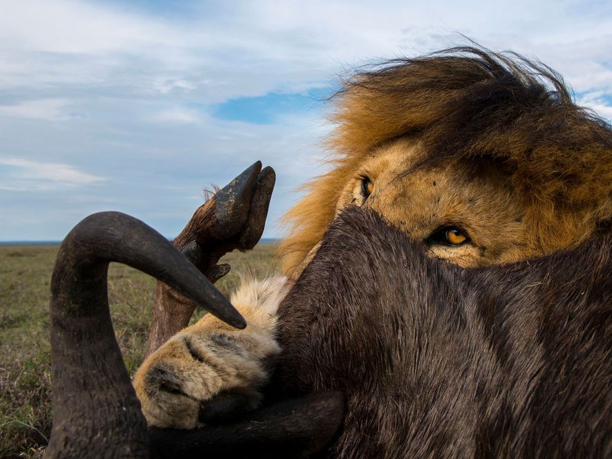 C-Boy viveu mais do que os 12 anos apontados como máximo de longevidade para os leões-machos.