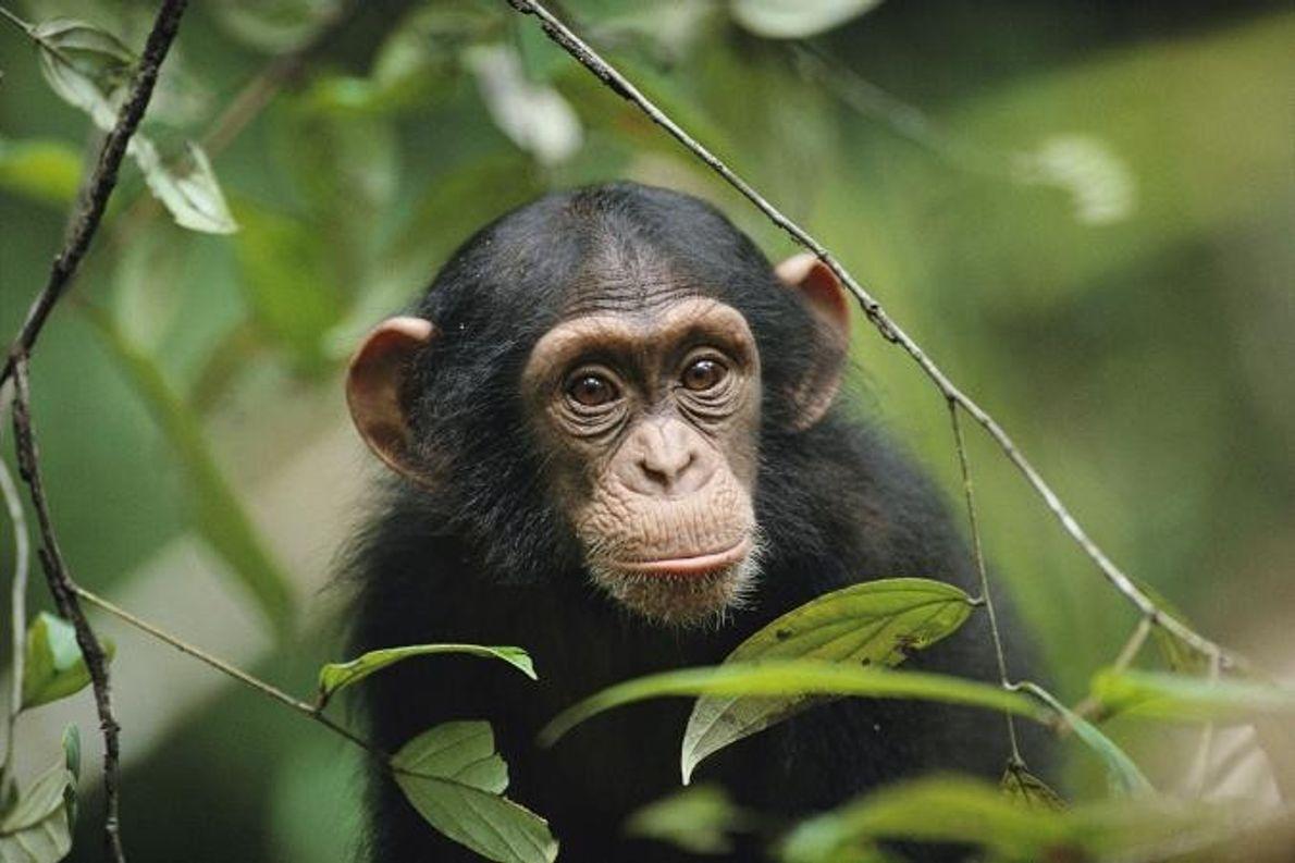 Um jovem chimpanzé.