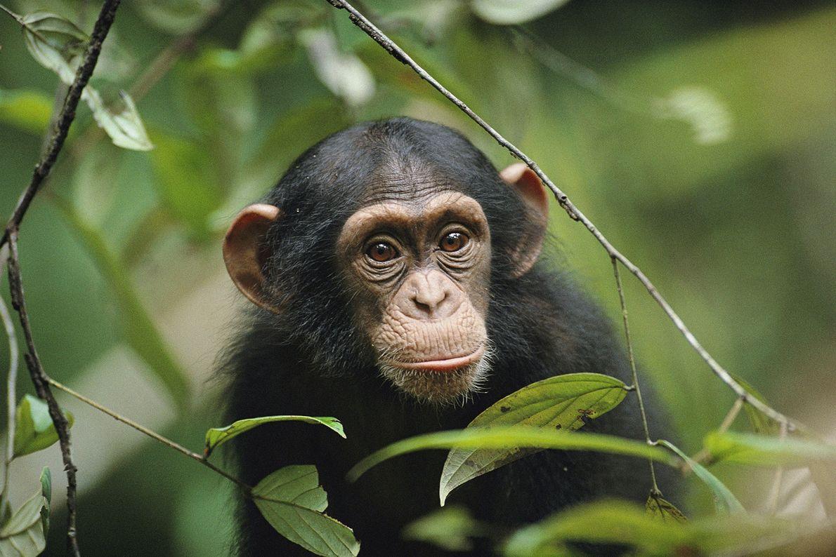 Chimpazé, Parque Nacional de Taï, na Costa do Marfim.