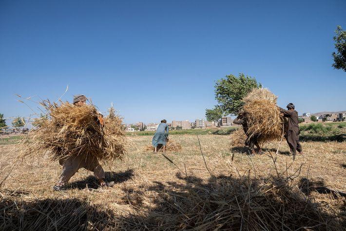 Agricultores a colher trigo nos arredores de Herat. Para já, a seca extrema de 2018 no ...