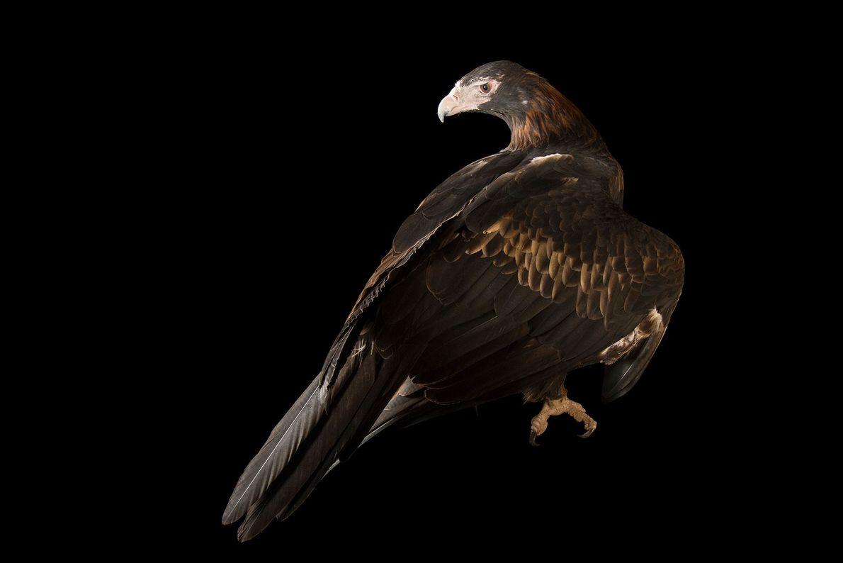 Espécies de águias - Uma águia-de-cauda-cunha