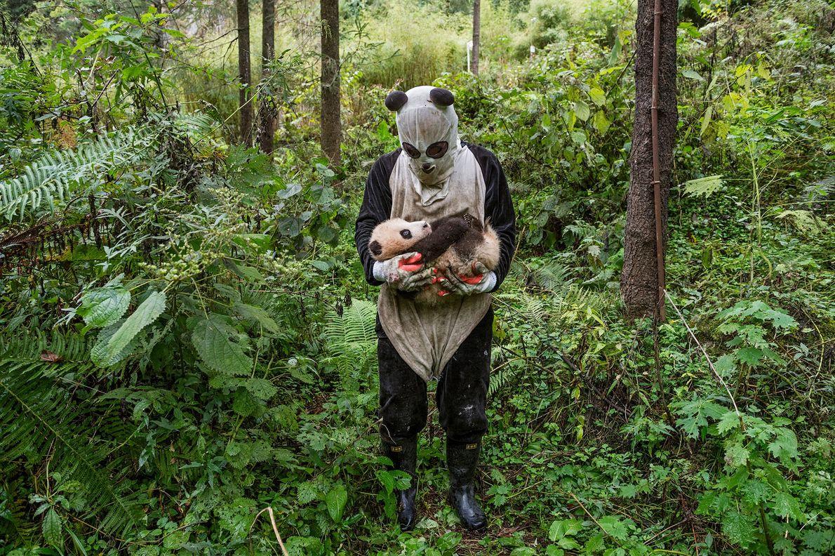 No centro de Hetaoping da Reserva Natural de Wolong, os pandas criados em cativeiro estão relativamente ...