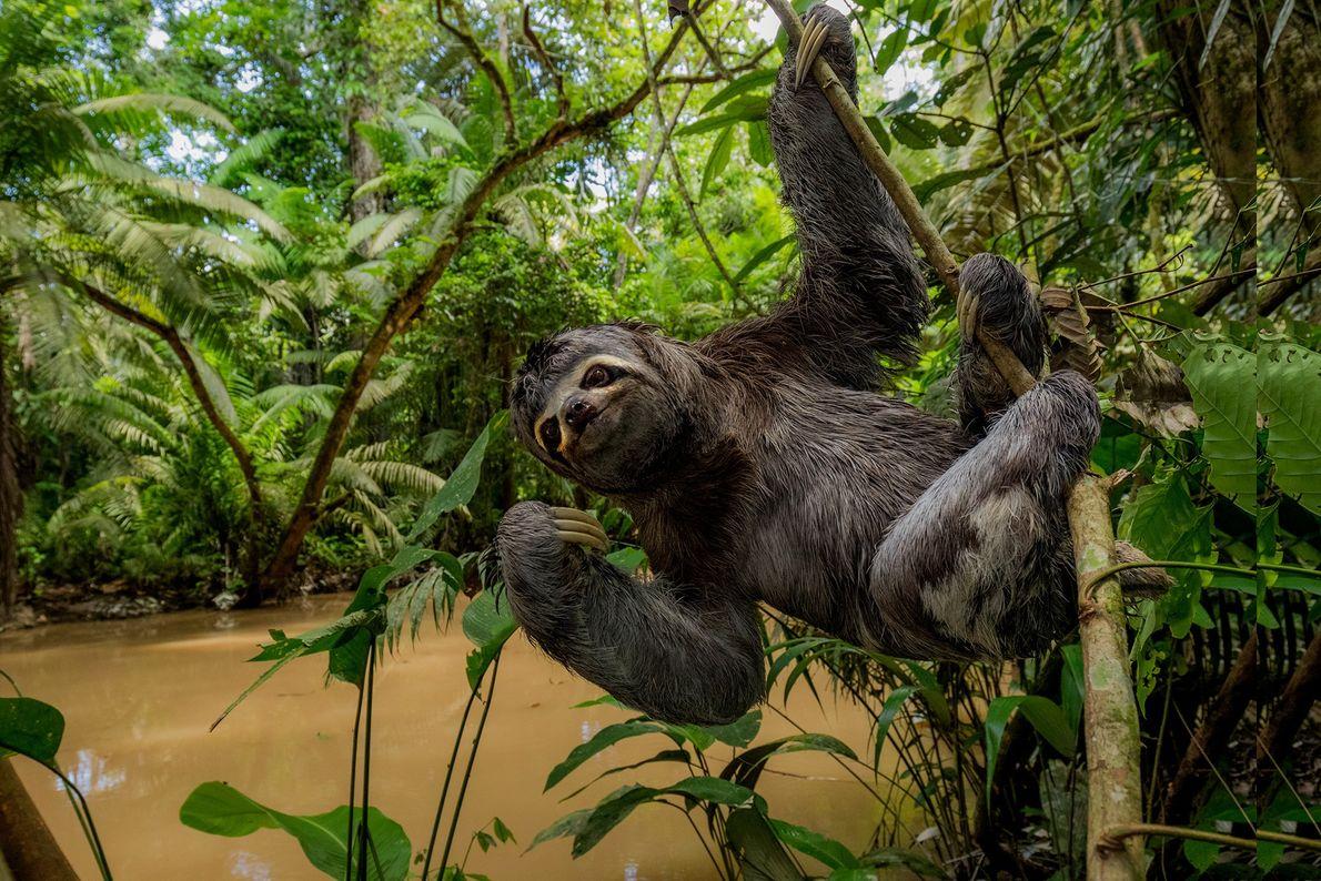 Uma preguiça-de-três-dedos pendurada num ramo, no Parque Nacional Yasuni, no Equador. A natureza dócil da preguiça ...
