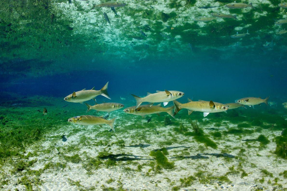 Tainhas-olhalvo a nadar num lago no Parque Estadual de Fanning Springs, na Flórida. As tainhas são ...