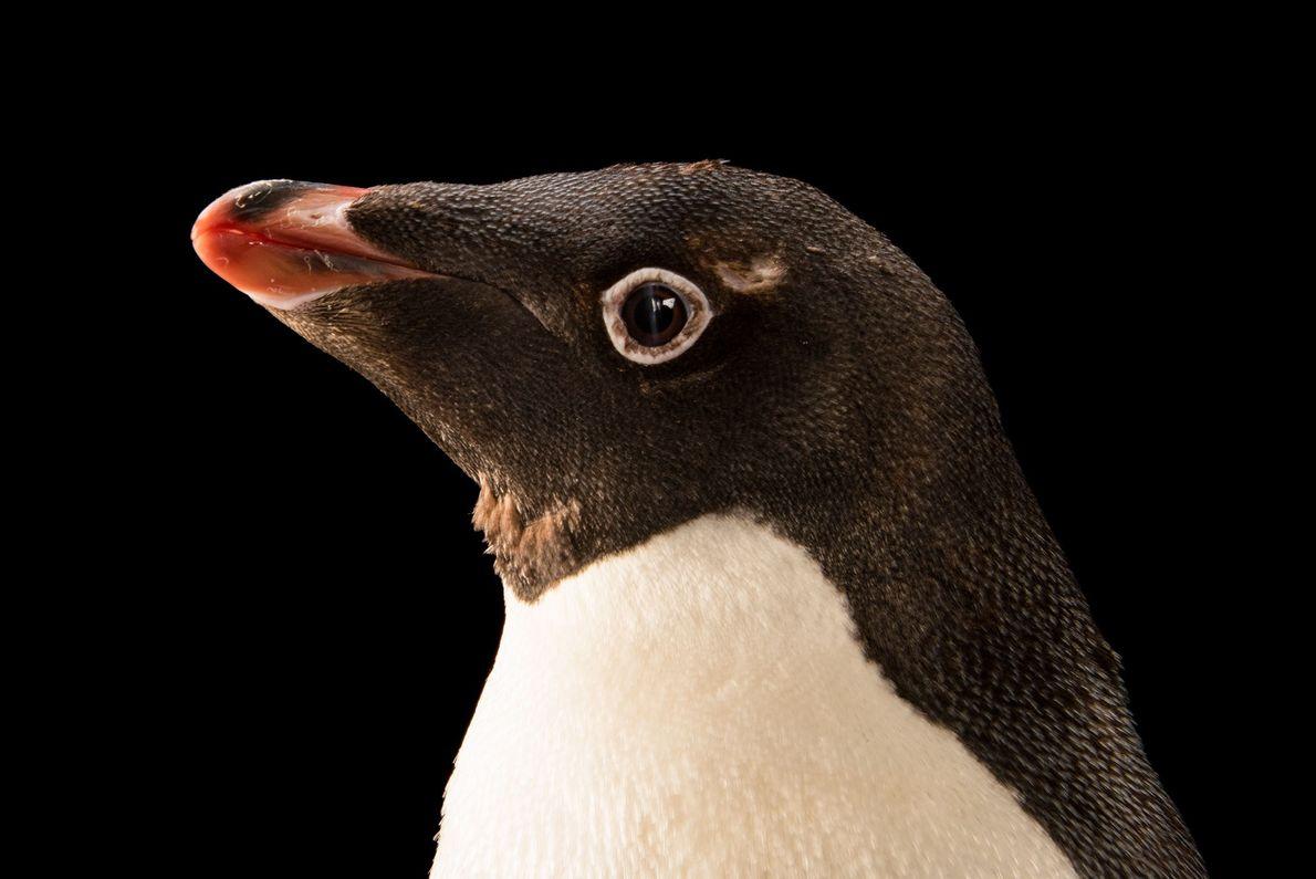 Pinguim-de-adélia