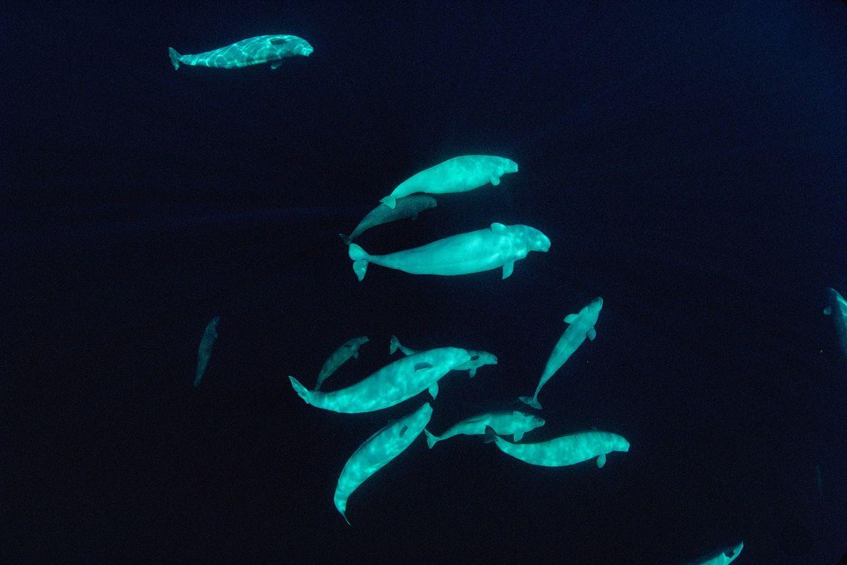 Um grupo de baleias-brancas, retratado 60 metros abaixo da superfície, nas águas do Ártico, perto de ...