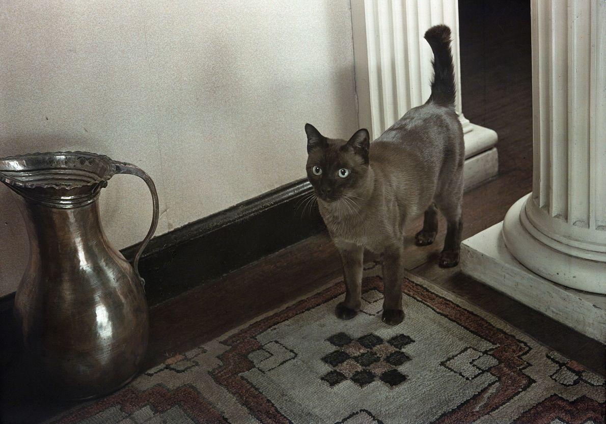 Um gato birmanês.