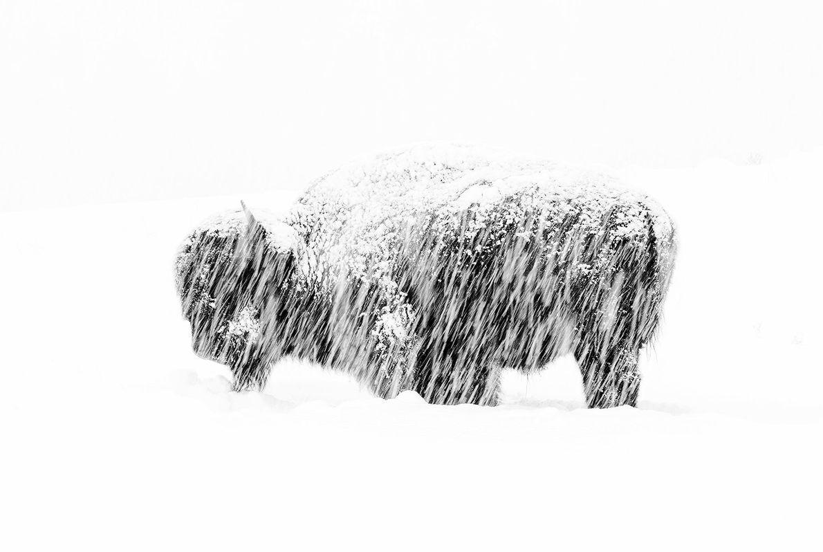 Com esta fotografia de um bisonte solitário, tirada durante uma tempestade de neve no Parque Nacional ...