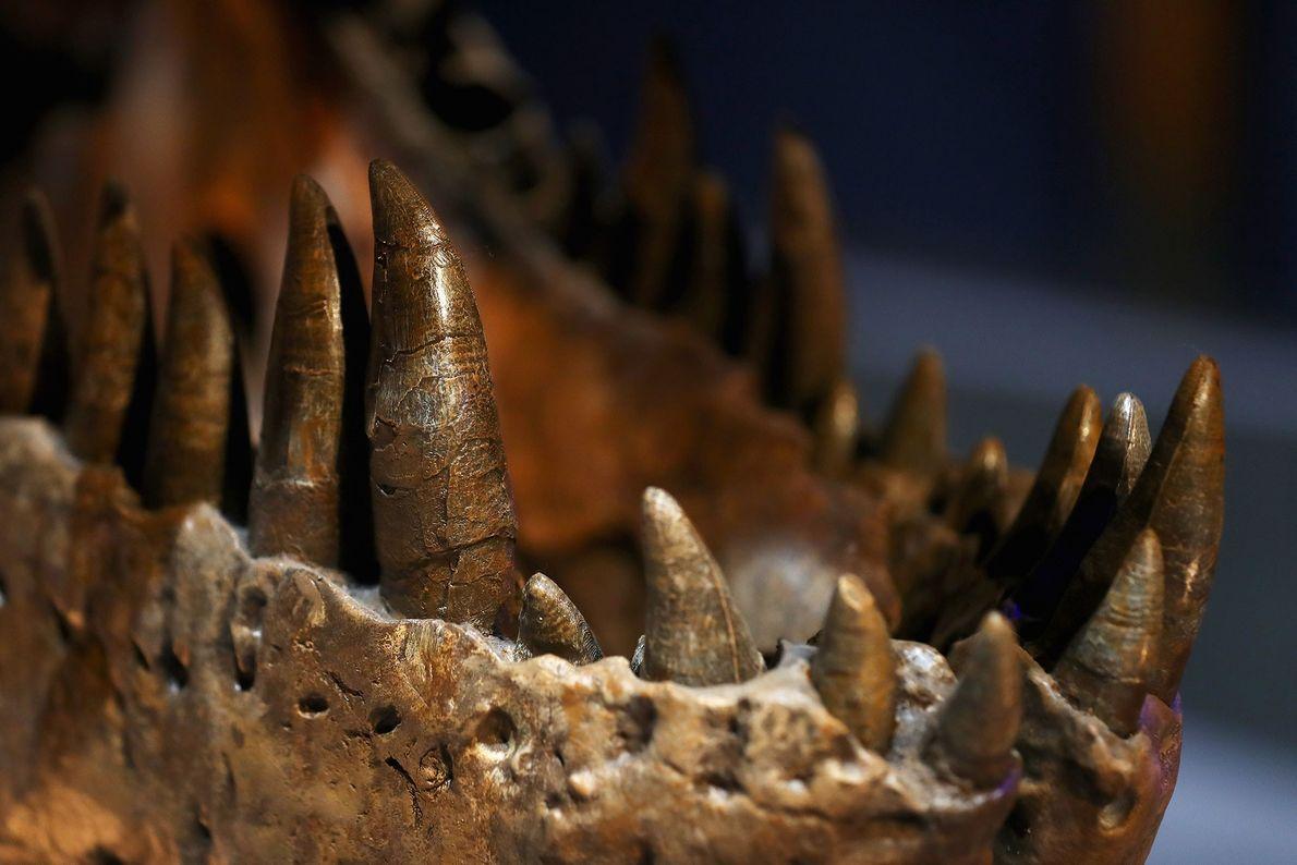 dentes e mandíbulas de uma fémea Tyrannosaurus rex